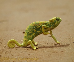 Graceful Chameleon