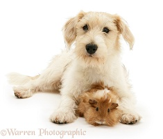 Mongrel dog with a Guinea pig