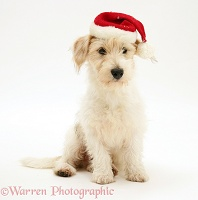 Mongrel dog wearing a Santa hat