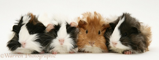 Four young Guinea pigs