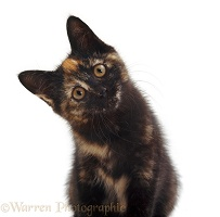 Tortoiseshell kitten listening intently