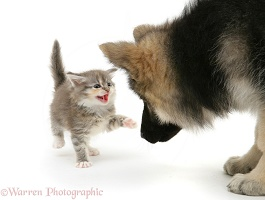 Tabby kitten getting cross with Alsatian pup