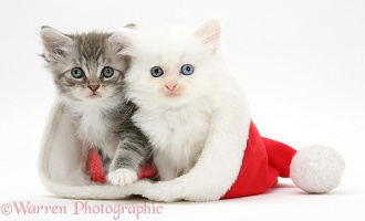 White kitten and tabby kitten in a Santa hat