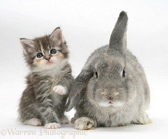 Tabby kitten with grey windmill-eared rabbit