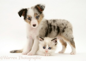 Sheltie pup and playful kitten