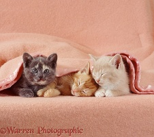 Sleepy kittens under a blanket