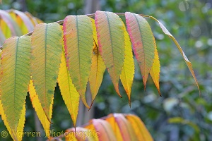 Autumnal Sumac leaves