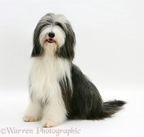 Bearded Collie sitting