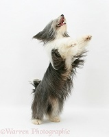 Bearded Collie jumping up