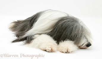 Bearded Collie lying with chin on paws