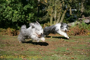 Bearded Collies running