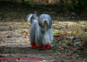 Bearded Collie with boots on