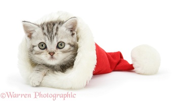 Silver Tabby kitten in a Santa hat