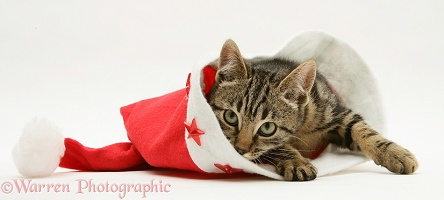 Brown tabby kitten in a Santa hat