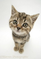 Tabby kitten looking up