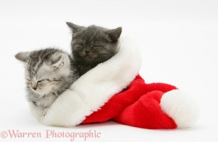 Two kittens asleep in a Santa hat