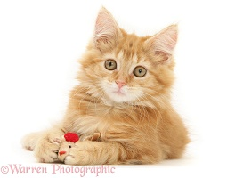 Ginger Maine Coon kitten playing with a toy mouse
