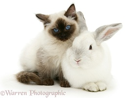 Ragdoll kitten, 12 weeks old, with white rabbit