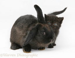 Black kitten and black rabbit