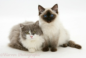 Ragdoll and Ragdoll x British Shorthair kittens