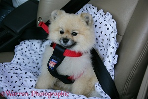 Pomeranian dog with seat belt harness on
