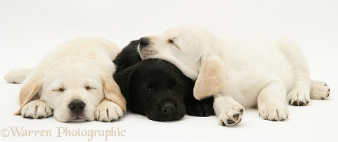 Sleepy yellow and black Goldador Retriever pups