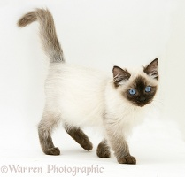 Ragdoll kitten, 12 weeks old