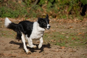 Black-and-white Border Collie running