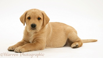 Labrador puppy lying with head up