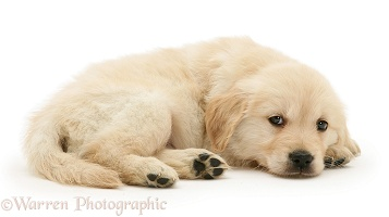Golden Retriever puppy lying, chin on floor