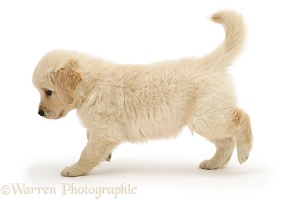 Golden Retriever puppy running across
