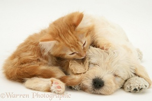 Sleepy Woodle pup and ginger Maine Coon kitten