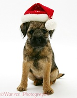 Border Terrier pup with Santa hat on