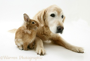 Elderly Golden Retriever with a Lionhead rabbit