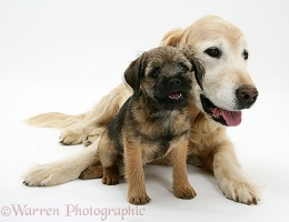 Border Terrier pup elderly Golden Retriever