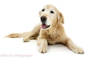 Elderly Golden Retriever