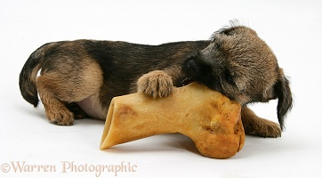 Border Terrier pup gnawing a bone
