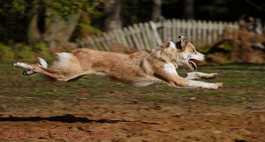 Sable-and-white Border Collie running