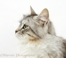 Maine Coon cat