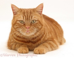 Ginger cat crouching