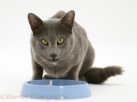 Siamese-cross cat eating from a blue bowl