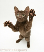 Brown Oriental-type kitten reaching up