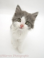 Grey-and-white kitten
