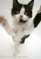 Black-and-white kitten reaching up