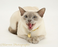 Siamese-cross cat hissing