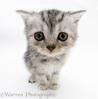 Silver tabby kitten with big eyes