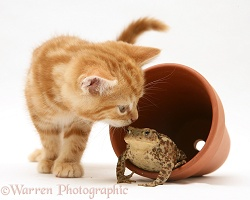 Ginger kitten inspecting a toad in a flower pot