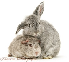 Young silver Rex Guinea pig and baby silver Lop rabbit