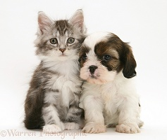 Cavazu puppy with Maine Coon kitten
