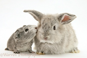 Baby Silver Guinea pig with baby silver rabbit